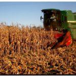 AGRO: El sembrado de maíz en nuestra región creció un 28%