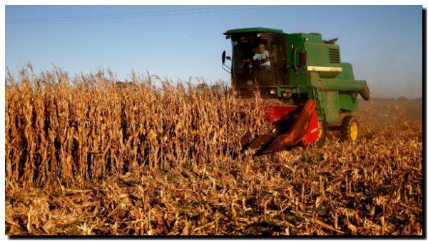 AGRO: El sembrado de maíz en la región creció un 28 %
