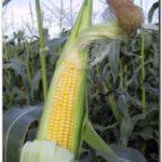 PUERTO QUEQUÉN: La retención efectiva del maíz en Necochea no supera el 10%