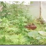 QUEQUÉN: Incautan plantación de marihuana