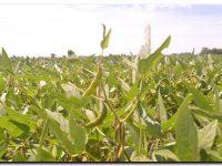 AGRO: Pérdidas en el rinde de la soja