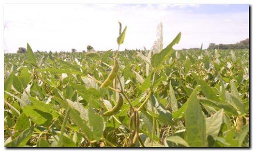 AGRO: La soja sigue aumentando el área de siembra