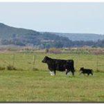 Temporada de Pariciones: etapa clave en sistemas de cría bovina