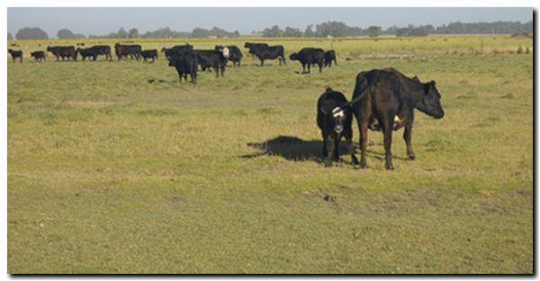 AGRO: La compra de ganado para faena pagará a cuenta IVA e Ingresos Brutos