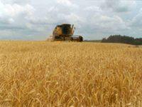 TRIGO: La cosecha finalizó en 17 millones de toneladas