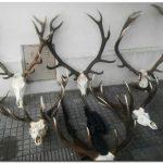 POLICIALES: Detienen a necochenses con cabezas de ciervo