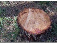 NECOCHEA: Cortes recientes de árboles en el Parque Miguel Lillo