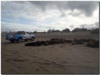 Puerto Quequén avanza en un plan de protección integral de los lobos marinos