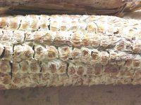 Diplodiosis: la micotoxicosis detrás del maíz que puede afectar al ganado