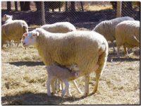 Una creación del INTA: la raza ovina Pampinta se impone