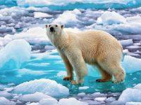 ECOLOGÍA: Hoy es el 'Día del Oso Polar'