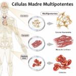 SALUD: Crean parte de un corazón humano a partir de células madre