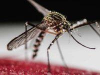 SALUD: Radiación contra los mosquitos
