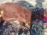 Advierten aumento del robo de ganado