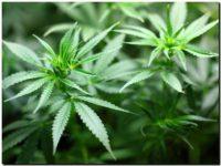 Otorgan los primeros 41 permisos del país para el autocultivo de cannabis medicinal