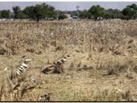 AGRO: Casi el 60% del área agrícola ya está afectada por la sequía